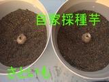 サトイモ植え込み2010.04.06.jpg