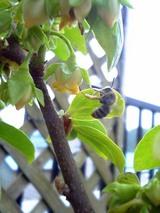 柿雄花と蜂