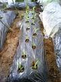 トウモロコシ定植2011.05.24