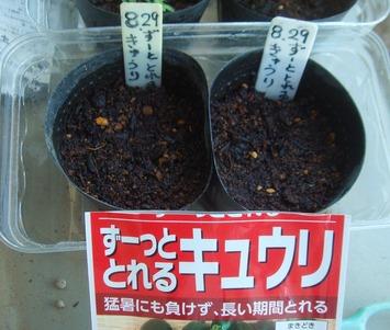キュウリ種蒔き2020.08.29