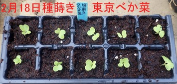 東京べか菜2020.02.29