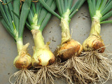タマネギ収穫2011.04.18