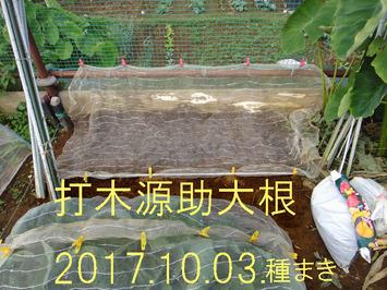 打木源助ダイコン追加種蒔き