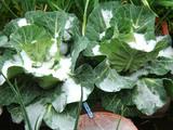 雪キャベツ2010.04.17.jpg