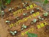 定植キャベツスティックブロッコリーカリフラワー09.08.30.jpg