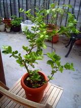 アセロラの木