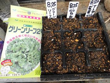 グリーンリーフ種蒔き2017.08.25