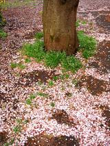桜2010.04.17.jpg