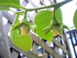 柿雌花11