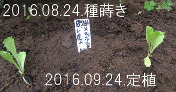 結球レタス定植2016.09.24