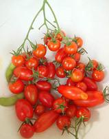 トマト収穫ルーフバルコニー菜園.jpg