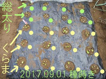 ダイコン発芽2017.09.04