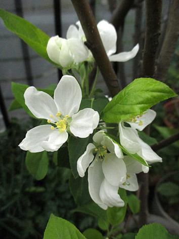 リンゴ2015.04.03