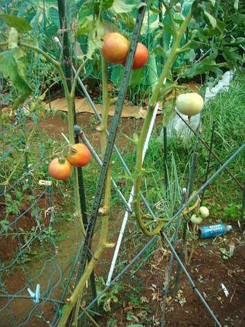 トマト畝2020.08.28