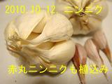 ニンニク植込み2010.10.12