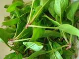ホウレンソウ収穫2012.03.25.