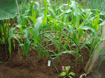 雨のトウモロコシ2020.07.24