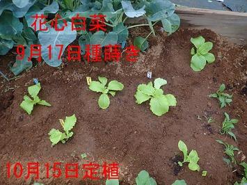 花心白菜2018.10.15
