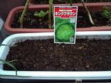 結球レタスキングクラウン種蒔き9.2