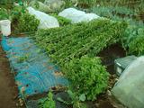 山芋2012.09.30