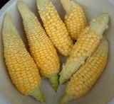 プランタートウモロコシ収穫