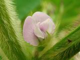 だだ茶豆開花2012.07.26