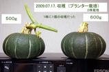 プランター栽培カボチャ収穫09.07.17.jpg