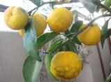 花ゆず2010.11.25