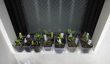 夏野菜の苗2020.03.23