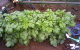 ジャガイモ区民農園2011.05.27