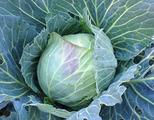 キャベツ収穫2013.12.22