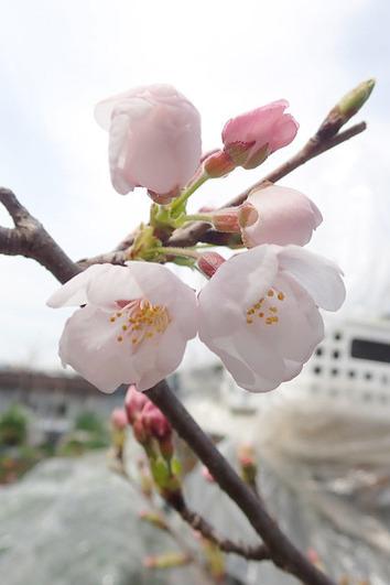 桜開花2018.03.18