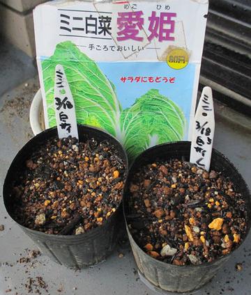 ミニハクサイ種蒔き2014.04.18.jpg