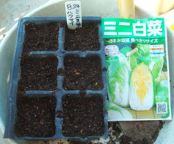 ミニ白菜種蒔き2020.08.24