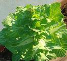 白菜菜花2012.03.27