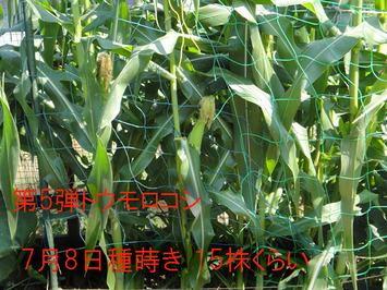 第5弾トウモロコシ2017.09.09