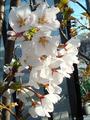 ソメイヨシノ満開2011.03.31