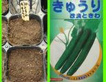 キュウリ種蒔き2011.04.10