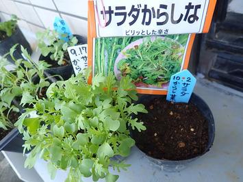 サラダからし菜2018.10.02