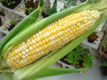 トウモロコシ試し収穫2020.073.04