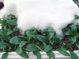 雪ノ下のホウレンソウ2012.01.19