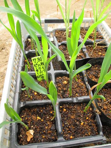 秋採りトウモロコシ2015.08.08