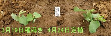 エダマメ2019.0424
