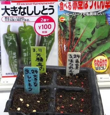 ししとう種蒔き2020.03.224