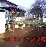 三浦ダイコン収穫