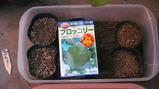 ブロッコリー種まき7.30.jpg