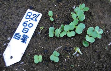 60日白菜発芽2017.08.31