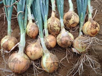 タマネギ収穫2018.0523.