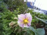 ジャガイモ開花2011.05.30