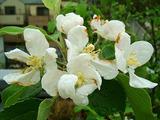 ふじりんご開花09.04.15.jpg